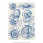 Art Forms of Nature, Leptomedusae,