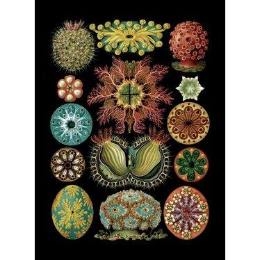 Haeckel Magnet