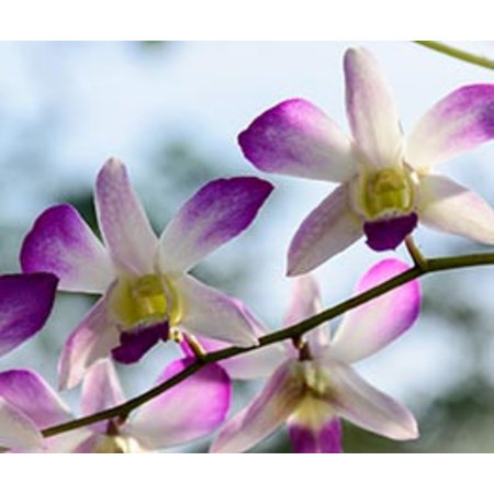 InFlore Kadokaartjes InFlore - Wilde Orchidee