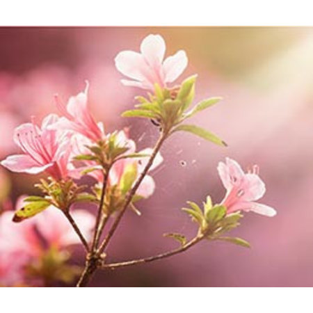 InFlore Kadokaartjes InFlore - Peach blossom