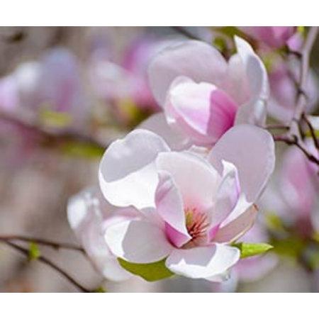 InFlore Kadokaartjes InFlore - Magnolia