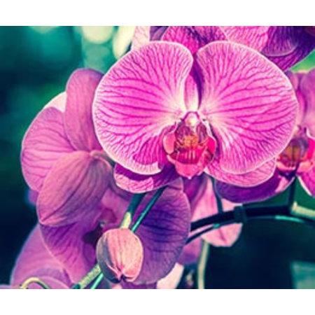 InFlore Kadokaartjes InFlore - Orchidee