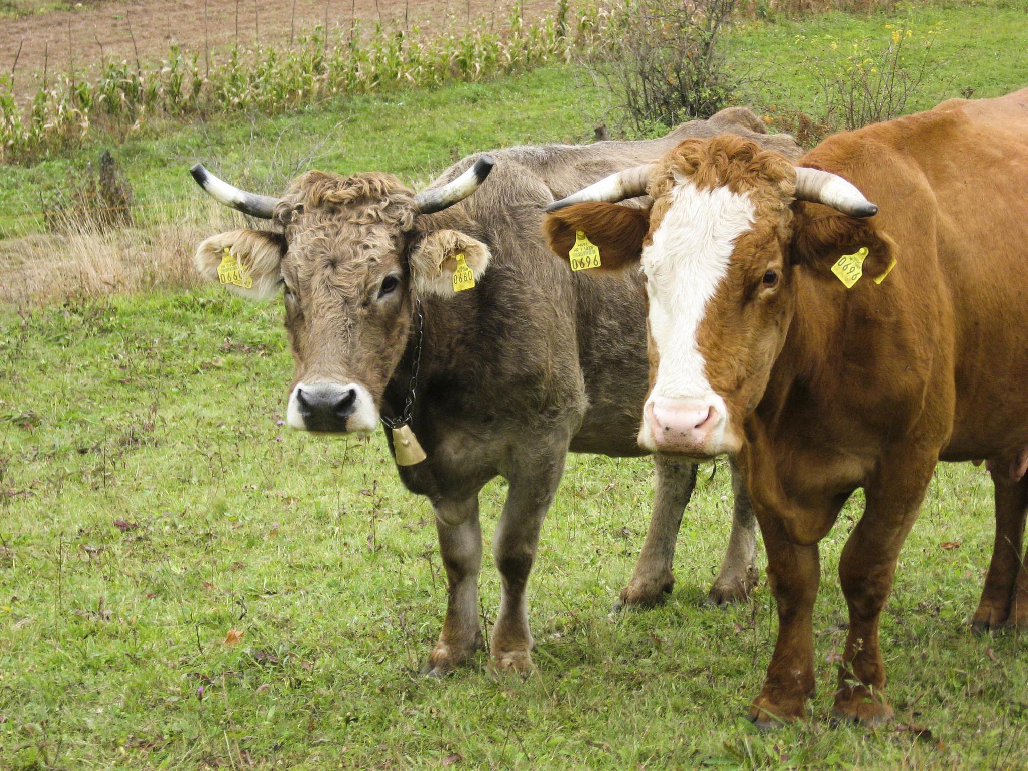 runderen zijn de basis voor rundercollageen