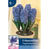 Prepared Hyacinth Blue Pearl (for indoor flowering)