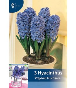 Prepared Hyacinth Blue Pearl (for indoor flowering)