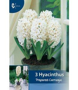 Hyacinthus Carnegie (geprepareerd voor op pot in huis)