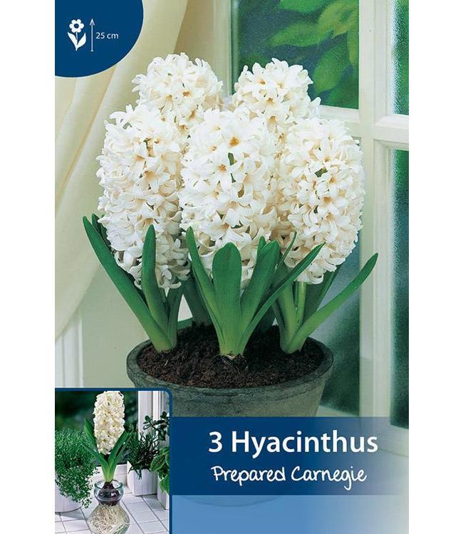 Prepared Hyacinth Carnegie (for indoor flowering)