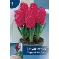Prepared hyacinth Jan Bos (for indoor flowering)
