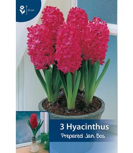 Hyazinthen präpariert Jan Bos (für im Haus)