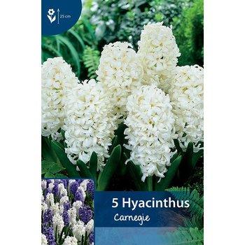 Hyazinten Carnegie