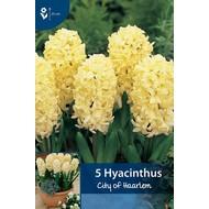Hyacint City of Haarlem