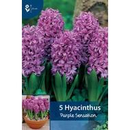 Hyazinthen Purple Sensation