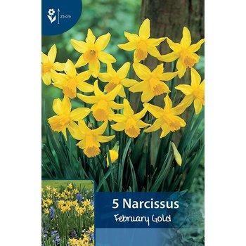 Narzissen February Gold