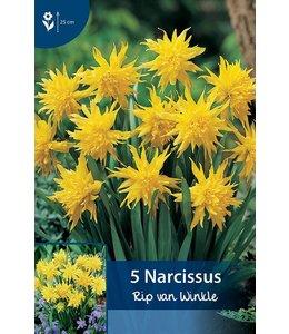 Narcis Rip van Winkle