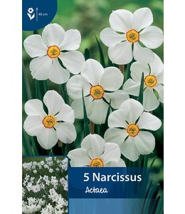 Narcis Actaea