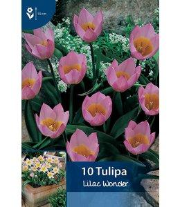 Tulip Lilac Wonder