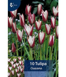 Tulpen Clusiana