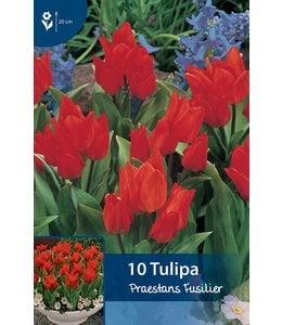 Tulip praestans Fusilier