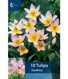 Tulp Saxatilis