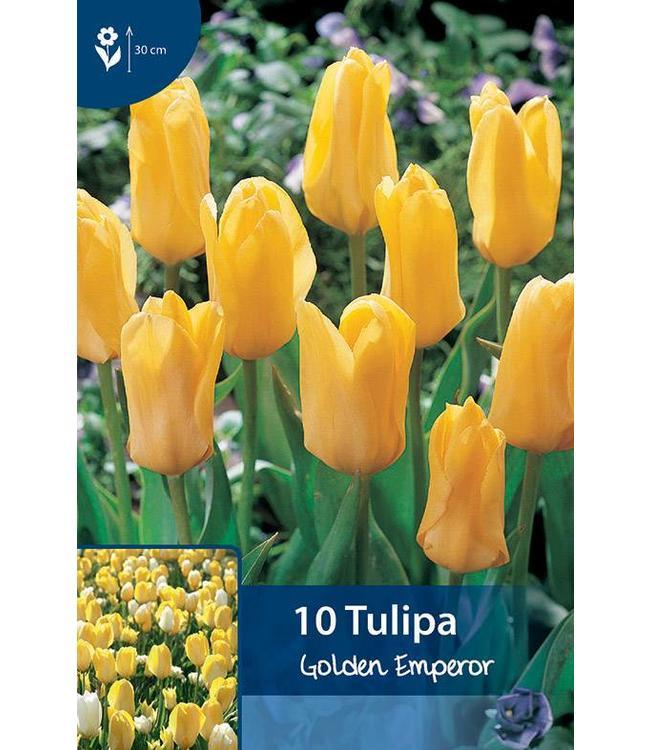Tulpen Golden Emperor