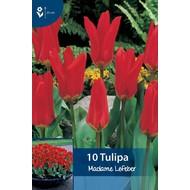 Tulp Madame Lefeber