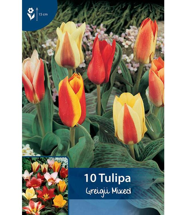 Tulip Greigii Mixed