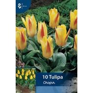Tulip Chopin