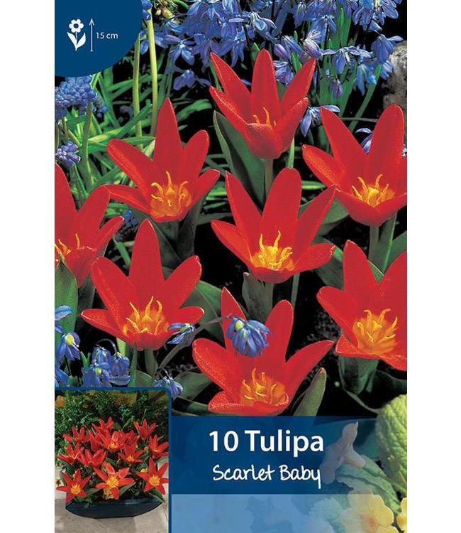 Tulpen Scarlet Baby