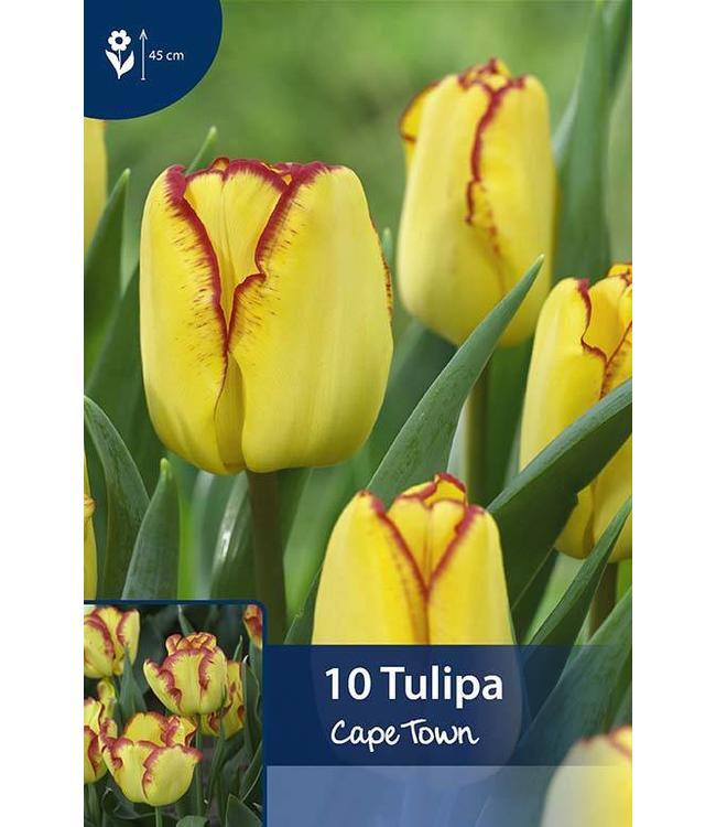 Tulpen Cape Town