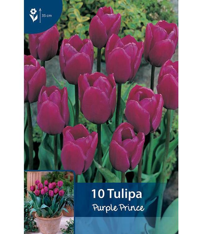 Tulpen Purple Prince