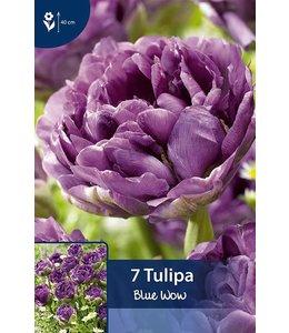 Tulpen Blue Wow