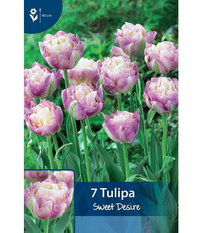 Tulip Sweet Desire