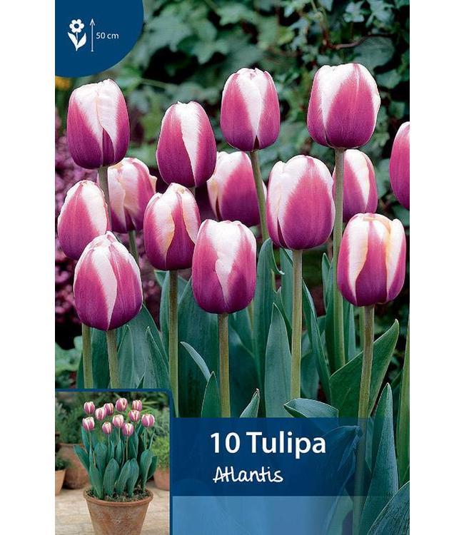 tulip Atlantis
