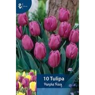Tulp Purple Flag
