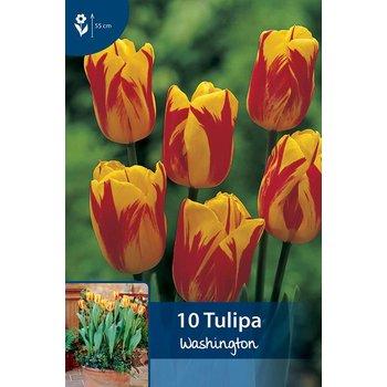 Tulpen Washington