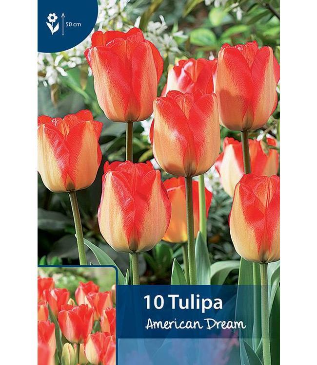 Tulpen American Dream