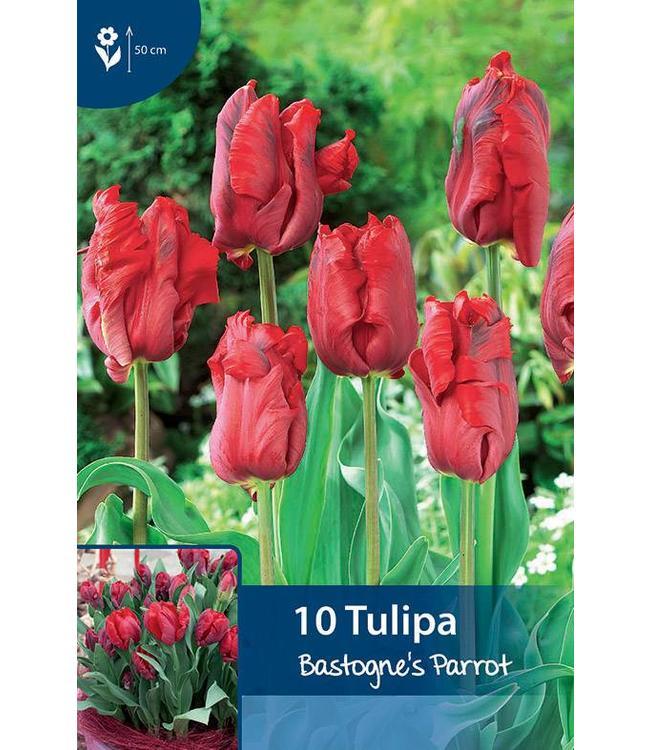 Tulpen Bastogne's Parrot