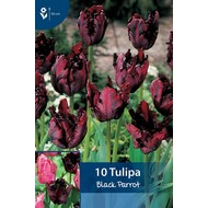 Tulp Black Parrot