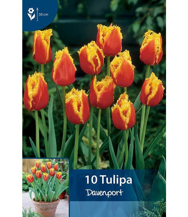 Tulpen Davenport