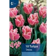 Tulpen Dallas