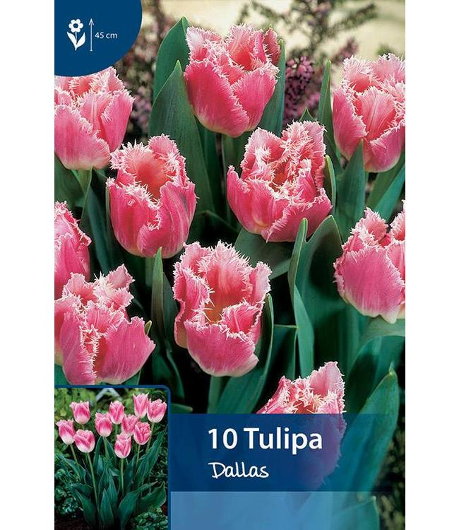 Tulip Dallas