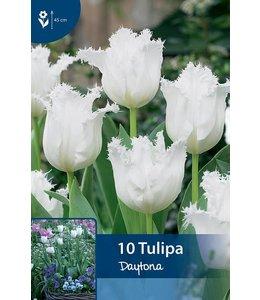 Tulip Daytona