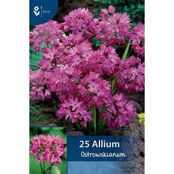 Allium Ostrowskianum