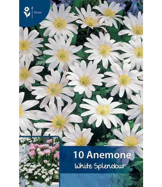 Anemone White Splendour