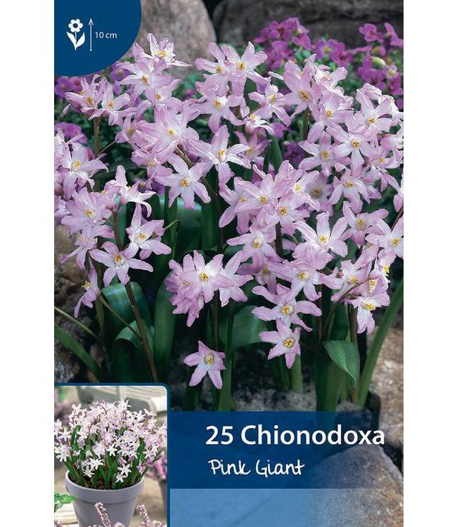 Chionodoxa Pink Giant