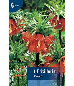 Fritillaria Rubra