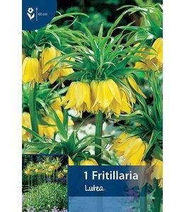 Fritillaria Lutea