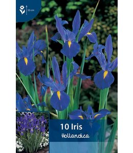 Iris Hollandica Blau