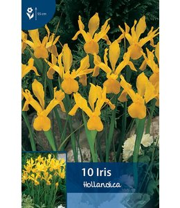 Iris Hollandica Yellow