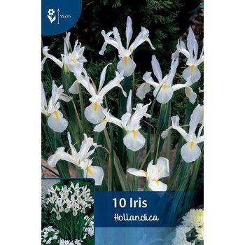 Iris Hollandica Weiß